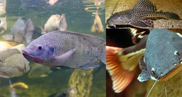 peixe é remoso